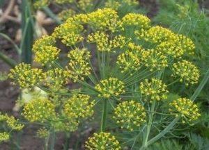зонтики растения
