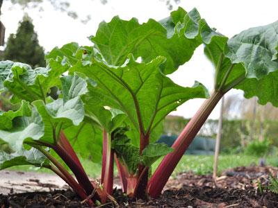 огородное растение