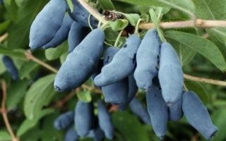 плоды каприфоли