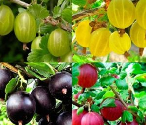 разные сорта ягод