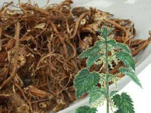корни крапивы