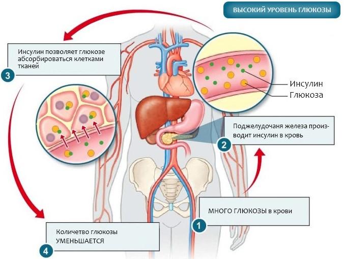 работа поджелудочной железы в организме